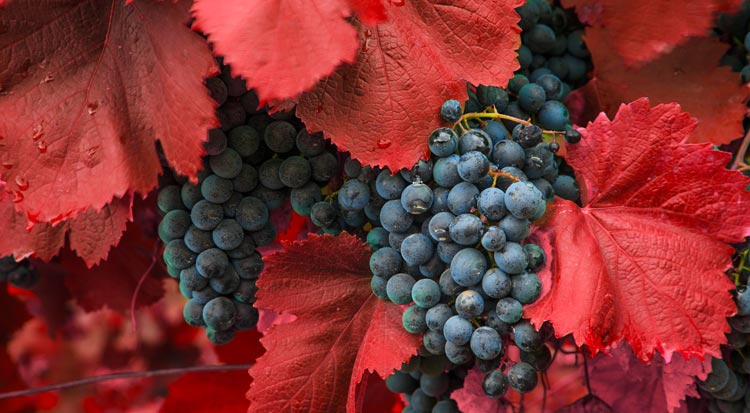 grapes_on_red_vine