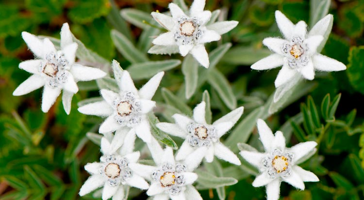 edelweiss_flower