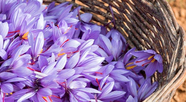portugal_saffron_flowers_in_basket