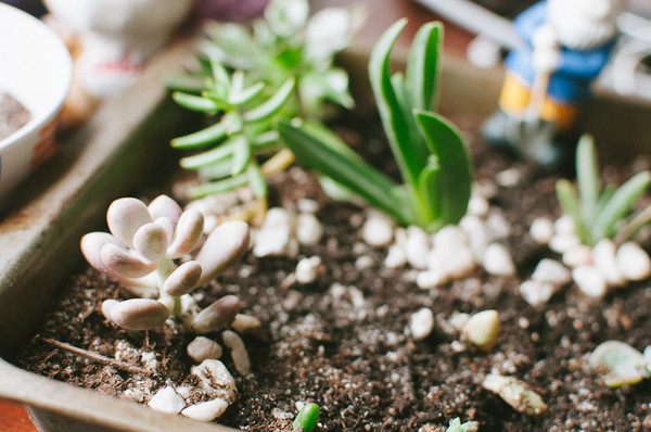 How to plant cut succulents wearable planter for How to keep succulents alive indoors