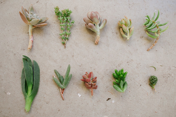 How to plant cut succulents wearable planter Can succulents grow outside