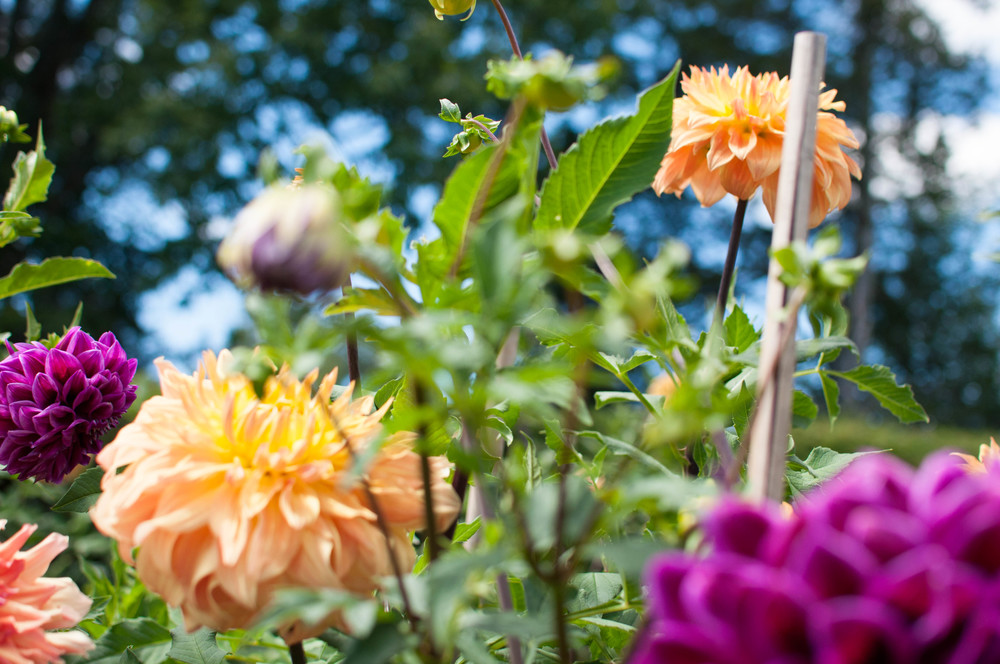 Heirloom dahlias growing at Meadowburn Farm.