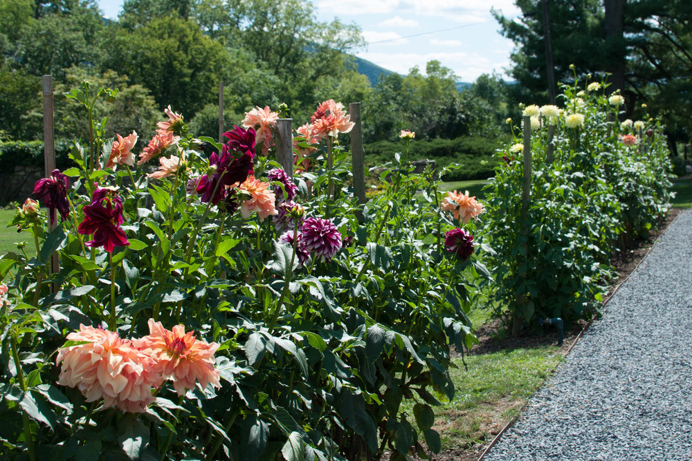 The dahlia garden at Meadowburn Farm. Some of these plants measure close to six feet tall. If you're in Northern New Jersey or New York, you may be able to find their heirloom dahlias at area florists.