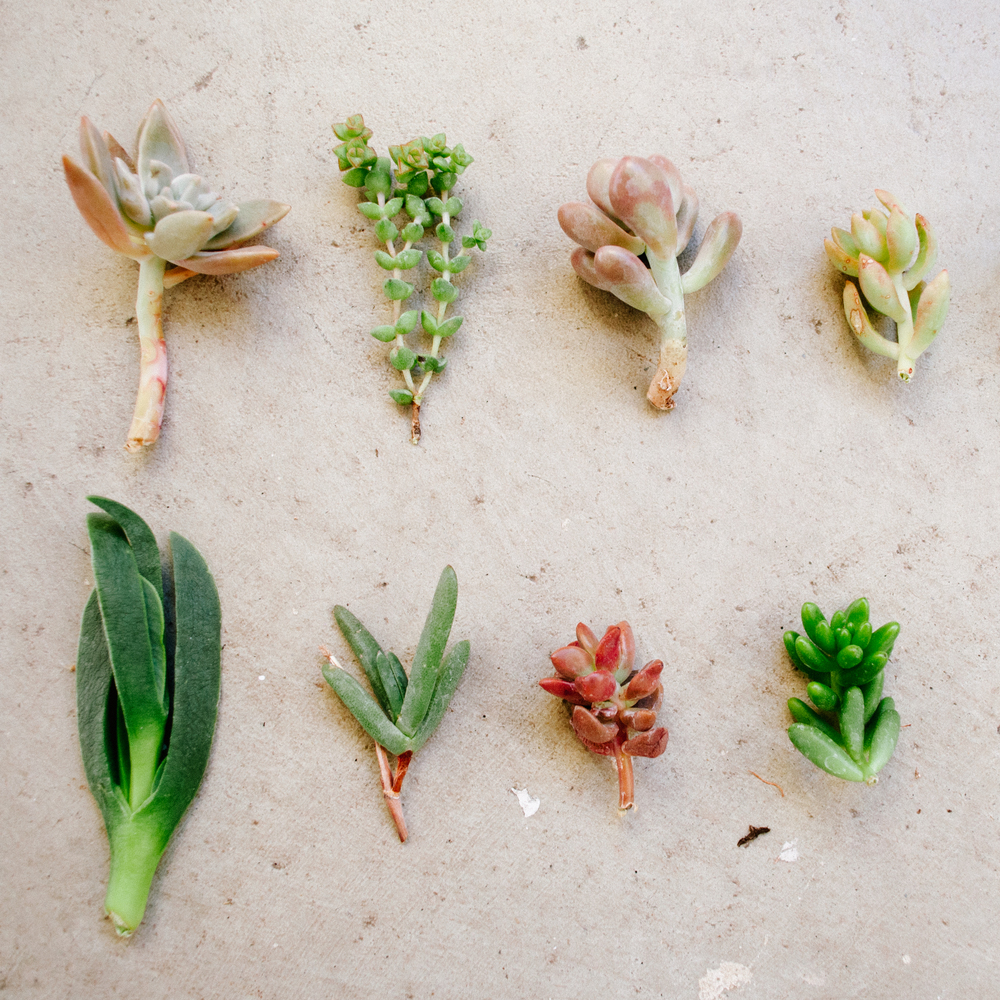 Succulent clippings from CTS air plants.