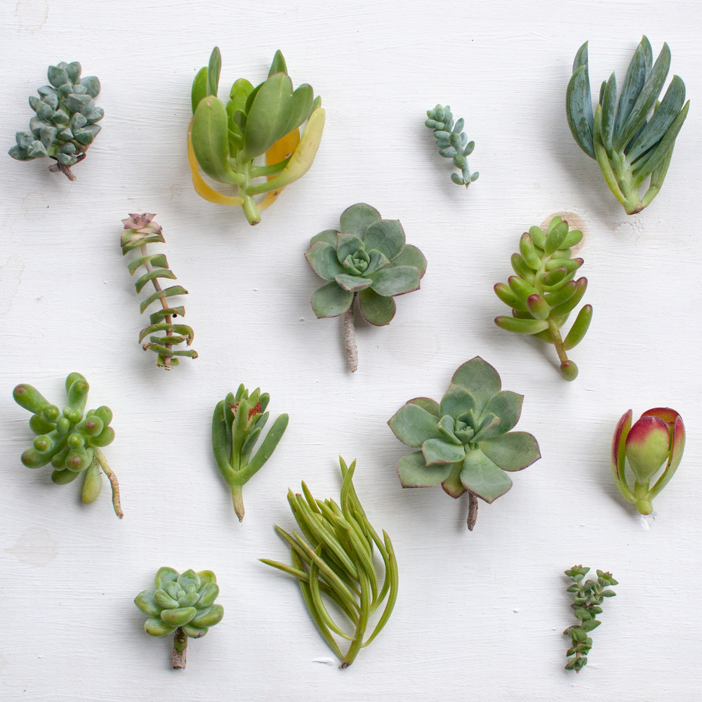Succulent clippings cut from larger plants.