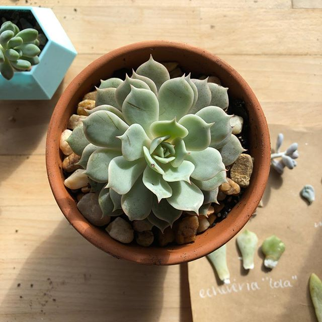 Continued bringing my plants inside this weekend, and this echeveria Lola @ateliersissoko gave me for my birthday doubles in size this summer! #plantlady #plantladyisthenewcatlady #succulents #gardening #crazyplantlady #echeveria #echeverialola #echeverialover
