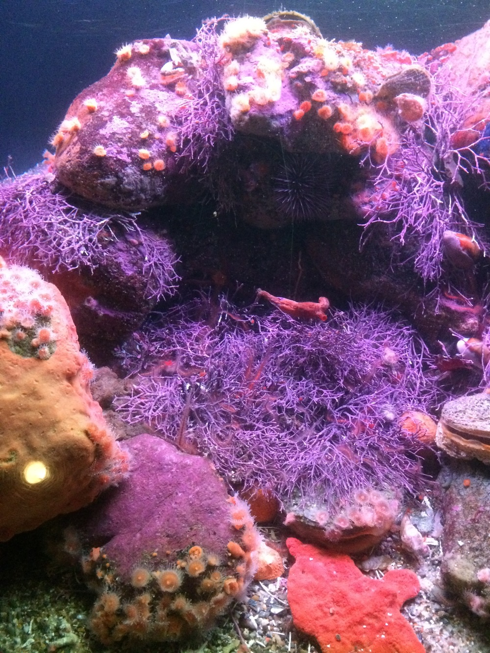 sea-urchin-coral.jpg