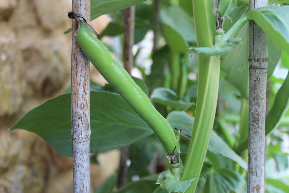 Fava Bean | © Helen Pockett