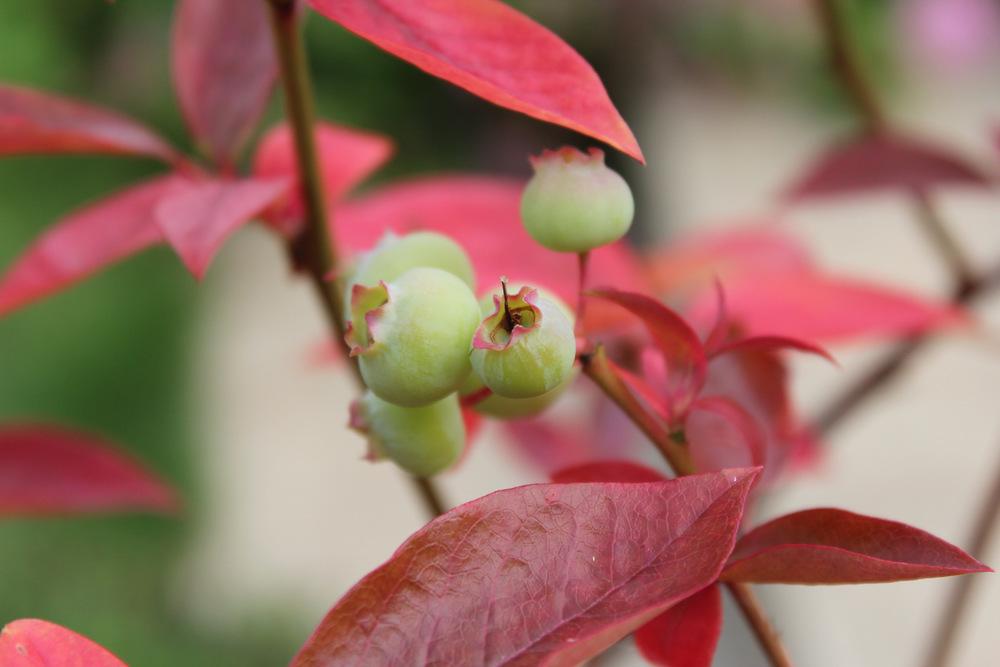 Blueberry | © Helen Pockett