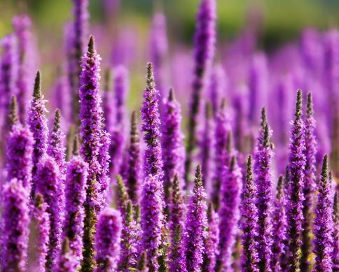 Purple Loosestrife flowers.jpg