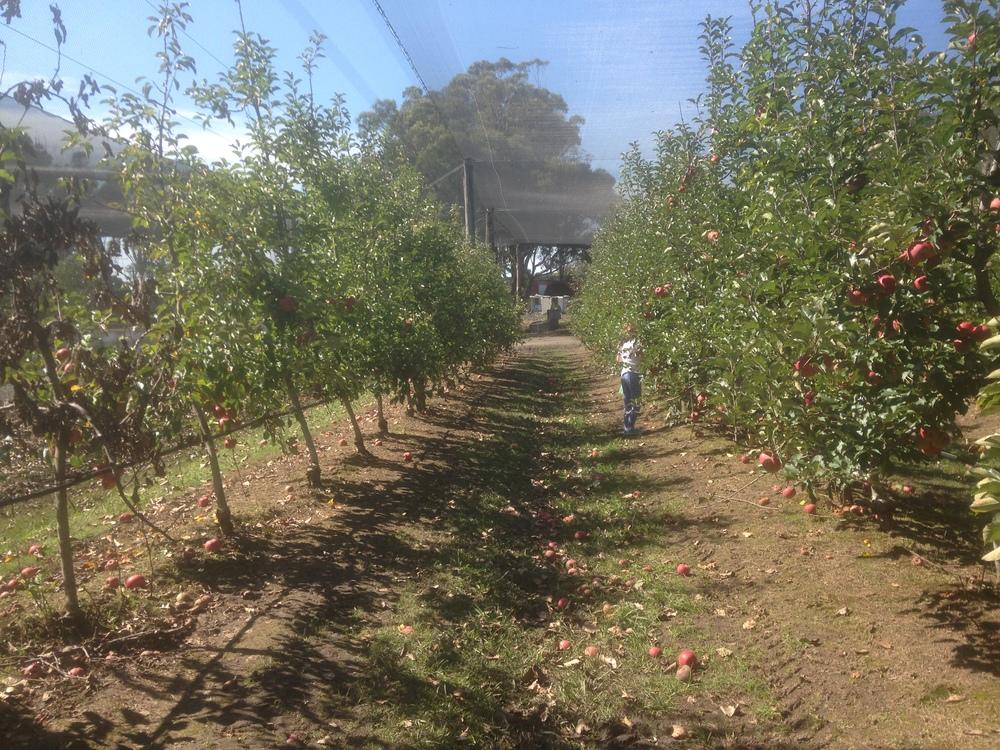 Glenbernie Apple Orchard