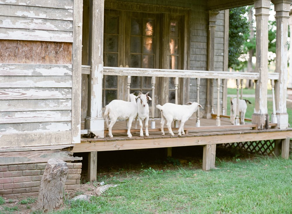 Goats at the Town of Spectre at Jackson Lake