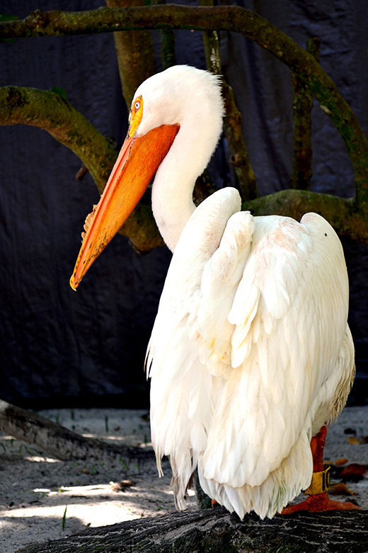 Pelican , Nedaara Powell - Fort Lauderdale, Florida 2012