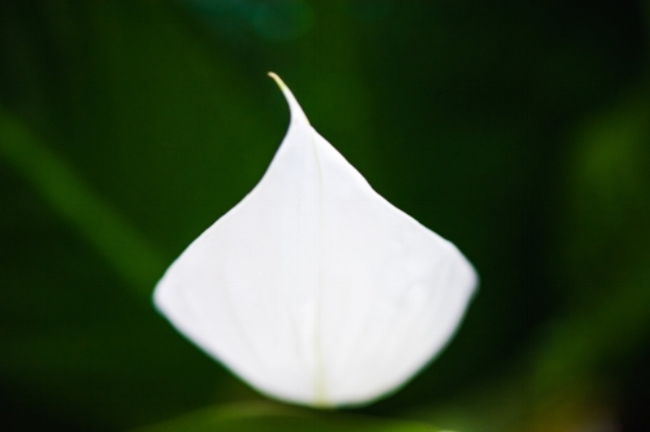 eyeObee Art - Art by Ibrahim Badru - The Essence of Peace - Peace Lily - Fine Art photography book