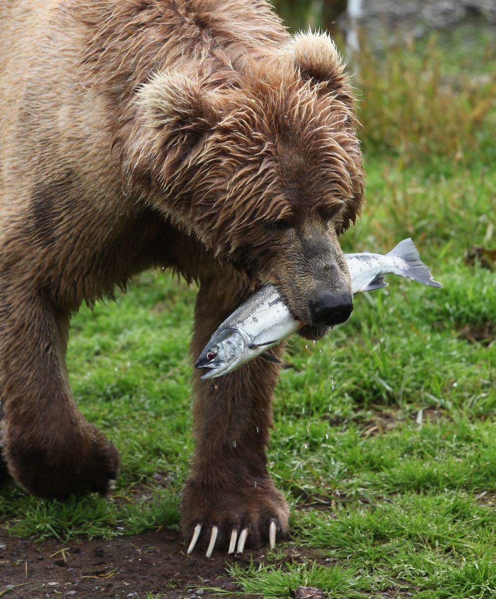Kodiak Bears, Frazier Lake