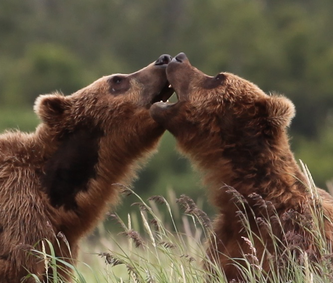Brown Bears, Kenai Alaska