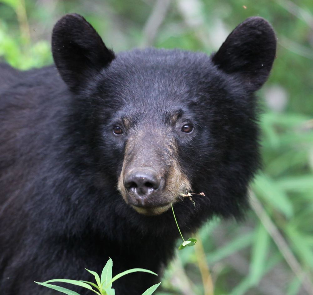 Click for Black Bears