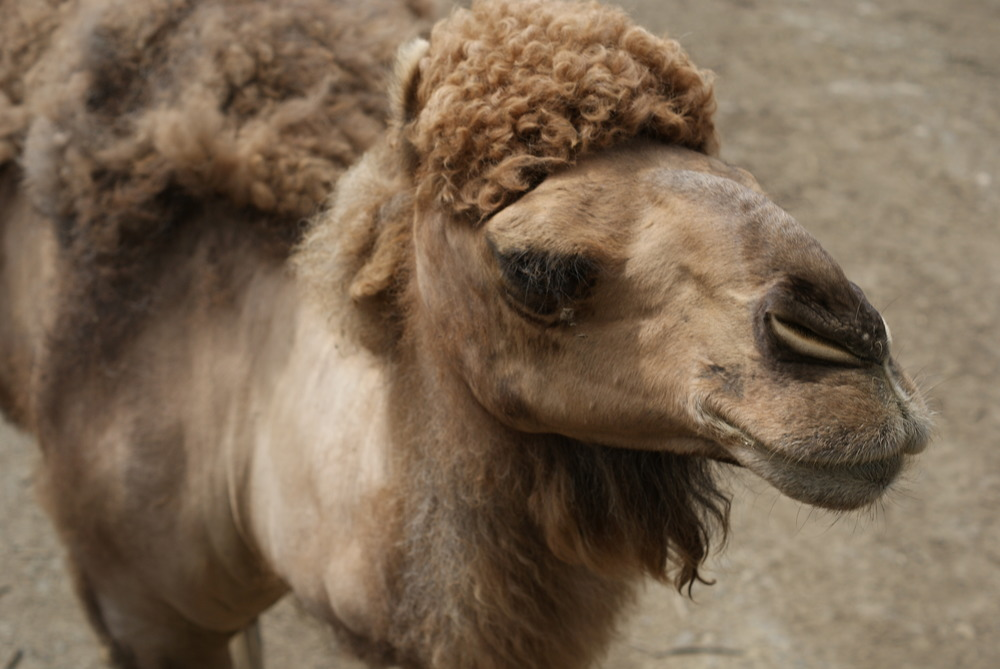 *Camel with Fro.JPG