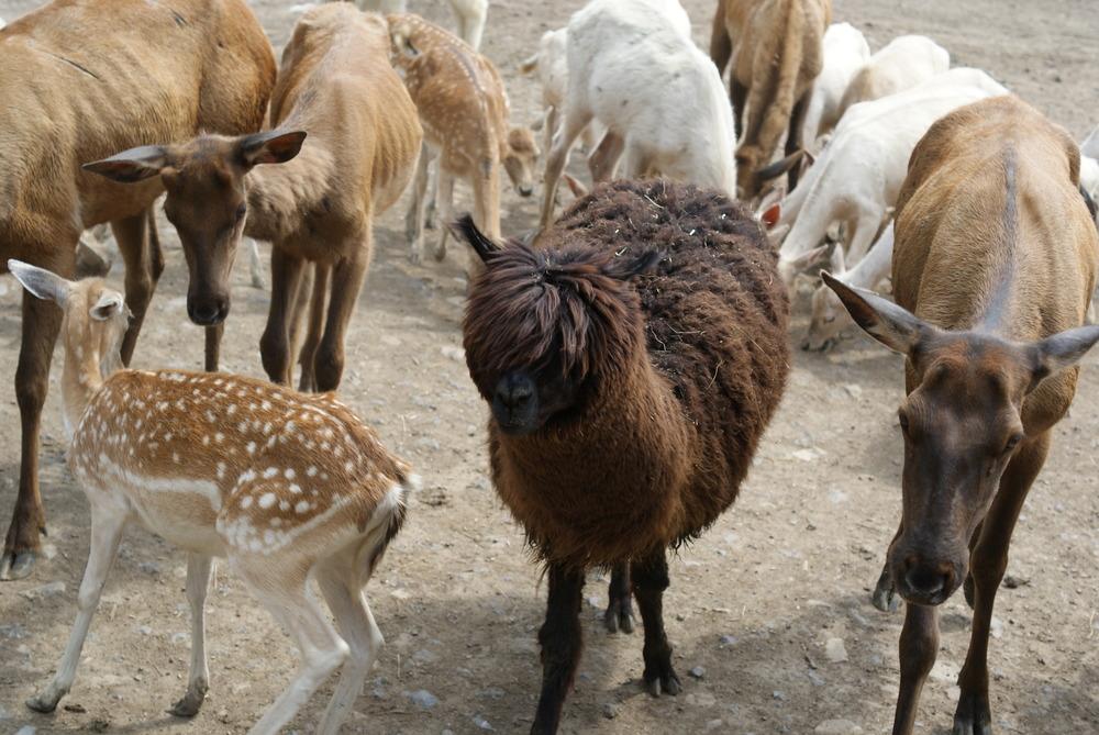 *Brown Llama.JPG