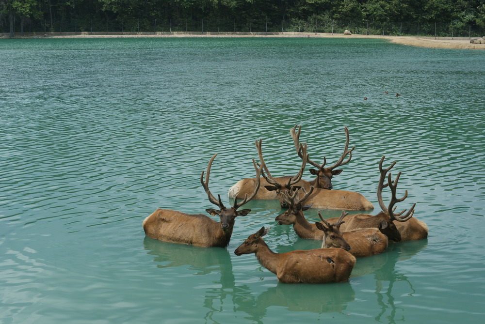 *Elk in water.JPG