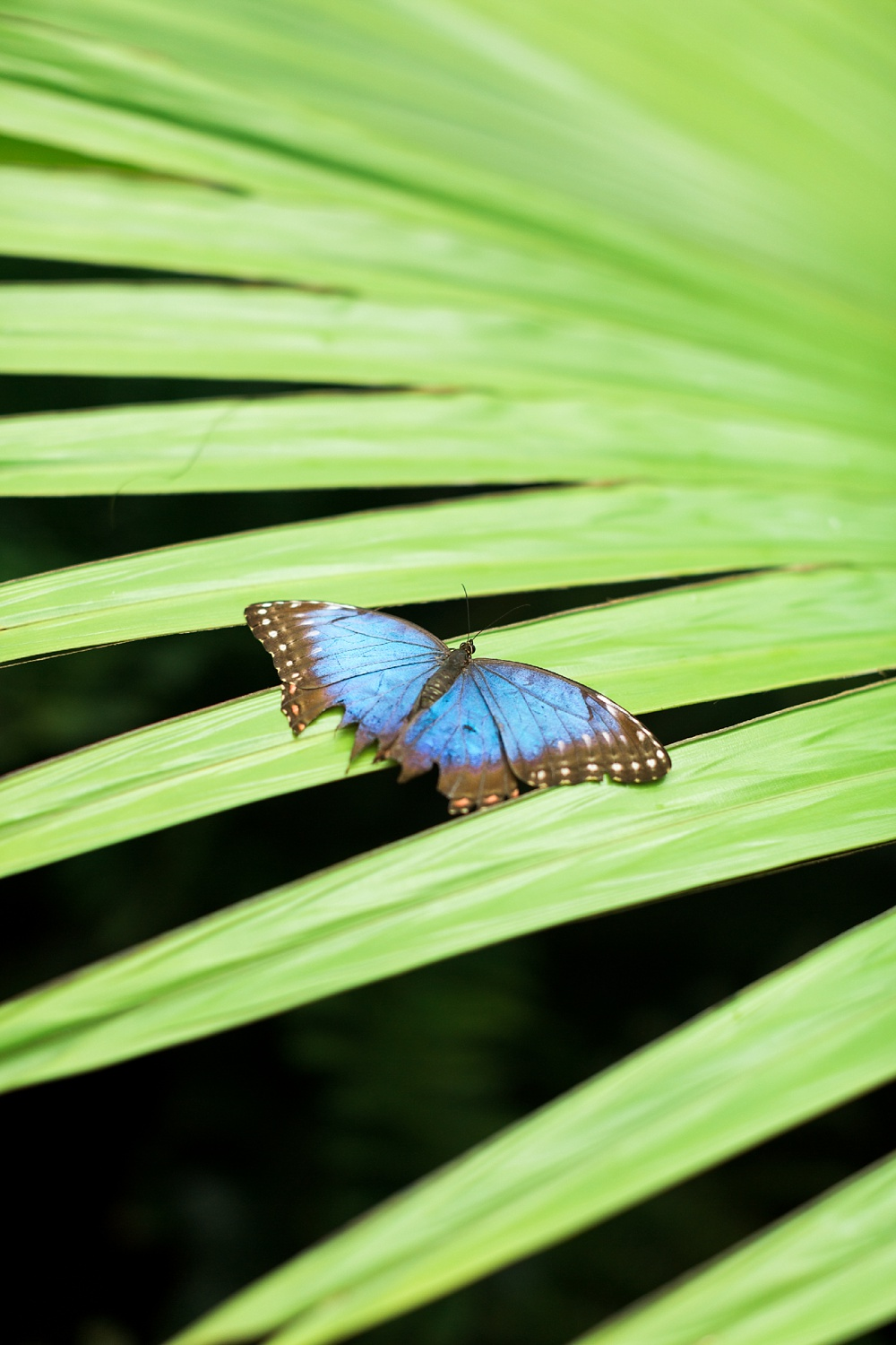blue butterfly rest with it's wings open on a green palm frond