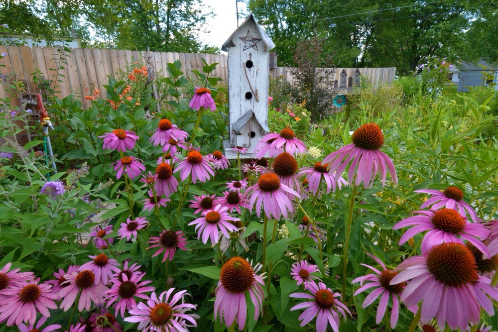Coneflowers at the Conger Street Garden