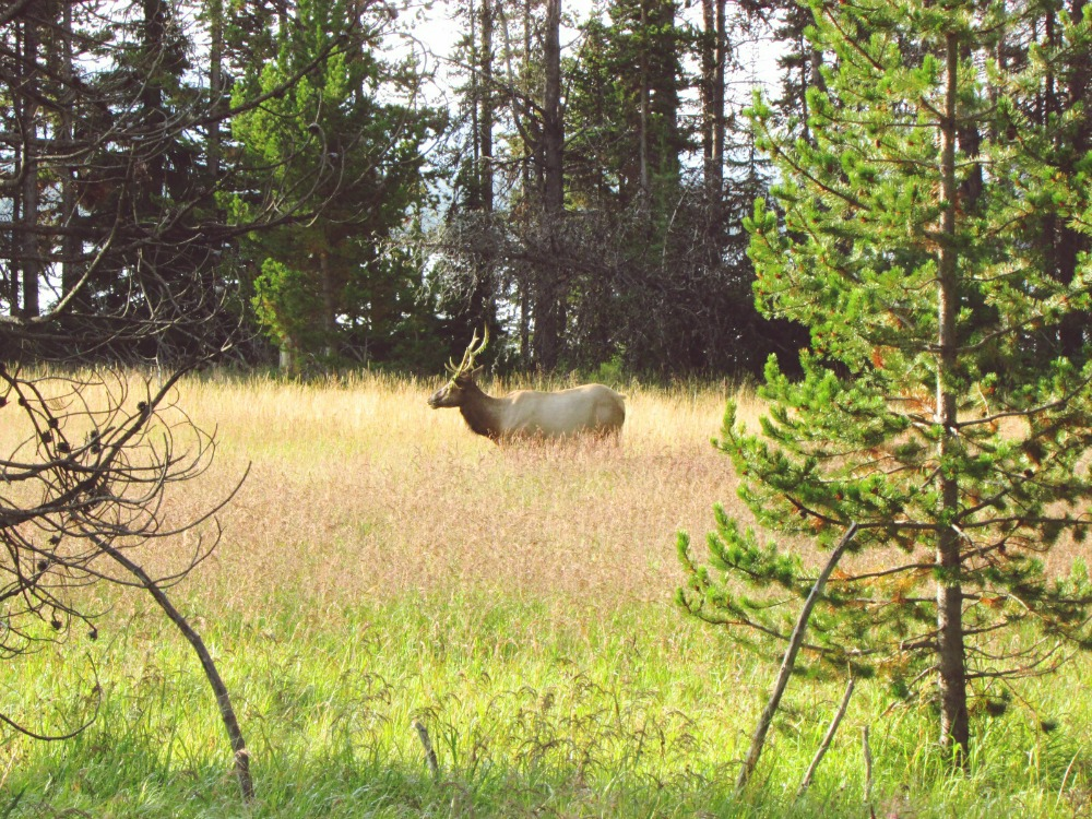 Elk bull Yellowstone