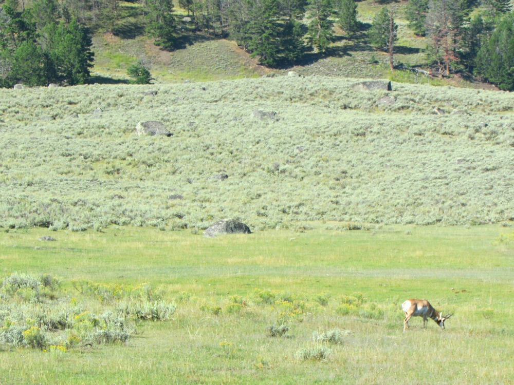 Antelope Yellowstone
