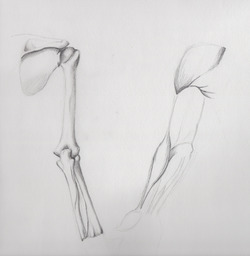 a drawing of the bones and musculature of the human arm and shoulder