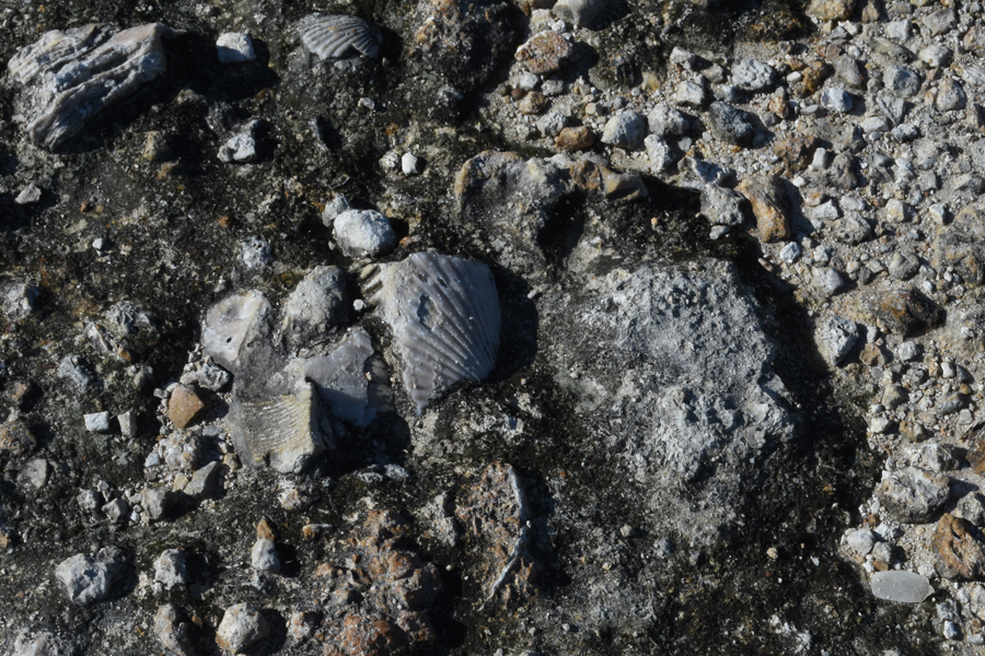 Fossilized shells littered the ground where the bedrock was exposed.