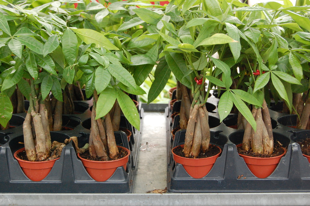 pachira %22money plant.jpg