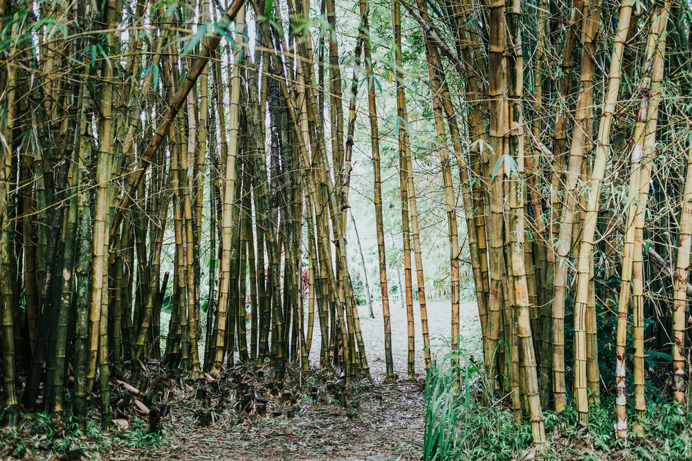 The bamboo is a common thing in the jungles of Maui!