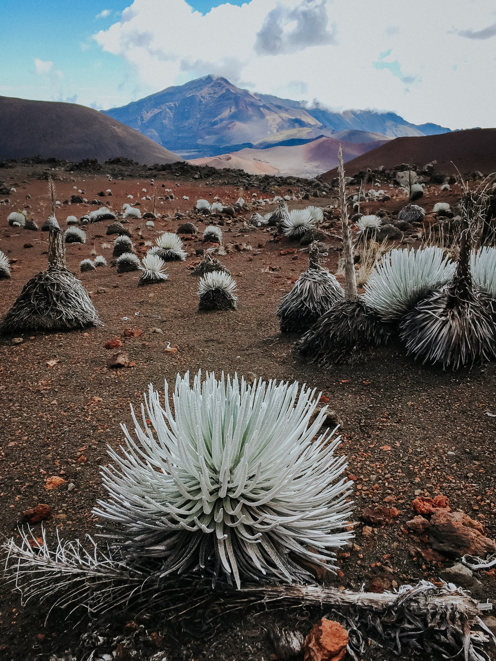 Hawaiian Silversword only exists in Hawaii. It can live up to 90 years and blooms once in its lifetime.