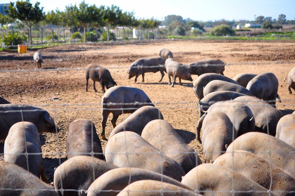 Black Pigs 2.jpg