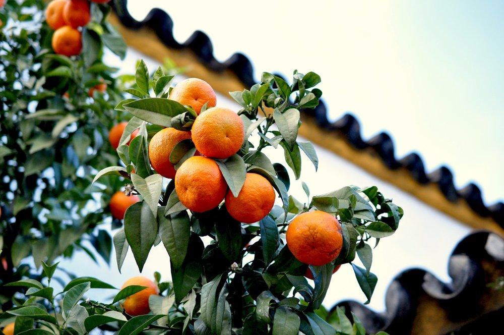 OrangesJPG.jpg