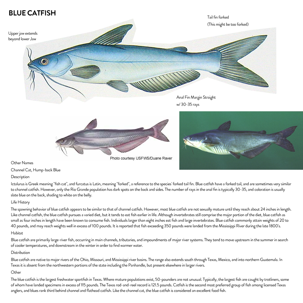 """We want to redraw the blue catfish illustrations. Here are some reference materials for the same. http://www.outdooralabama.com/blue-catfish http://www.flmnh.ufl.edu/catfish/ictaluridae/bluecatfish.htm http://kdwpt.state.ks.us/Fishing/Fish-ID-Gallery/BLUE-CATFISH http://www.catfishedge.com/catfish-species-basics coloration is usually slate blue on the back, shading to white on the belly barbels (""""whiskers"""") around the mouth like all catfish deeply forked tail, like the channel catfish, but can be distinguished by the straight-edged anal fin"""