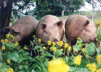 FarmEats pasture rasied pigs