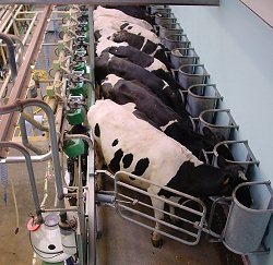 Cows being milked