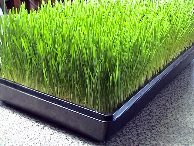 tray of wheat grass