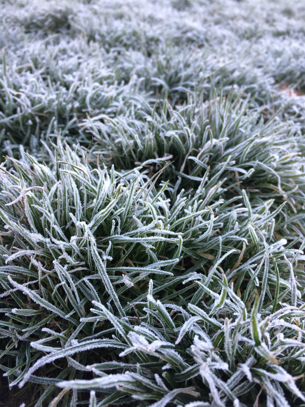 Frost-laden grass in the field at my boys' school.