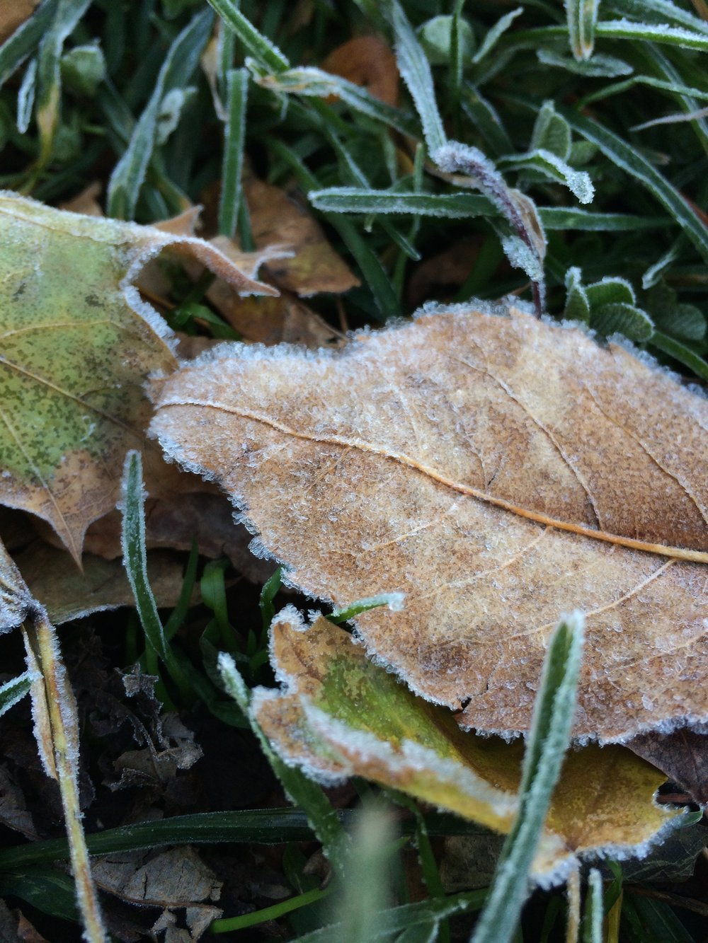 A fallen leaf covered in frost.