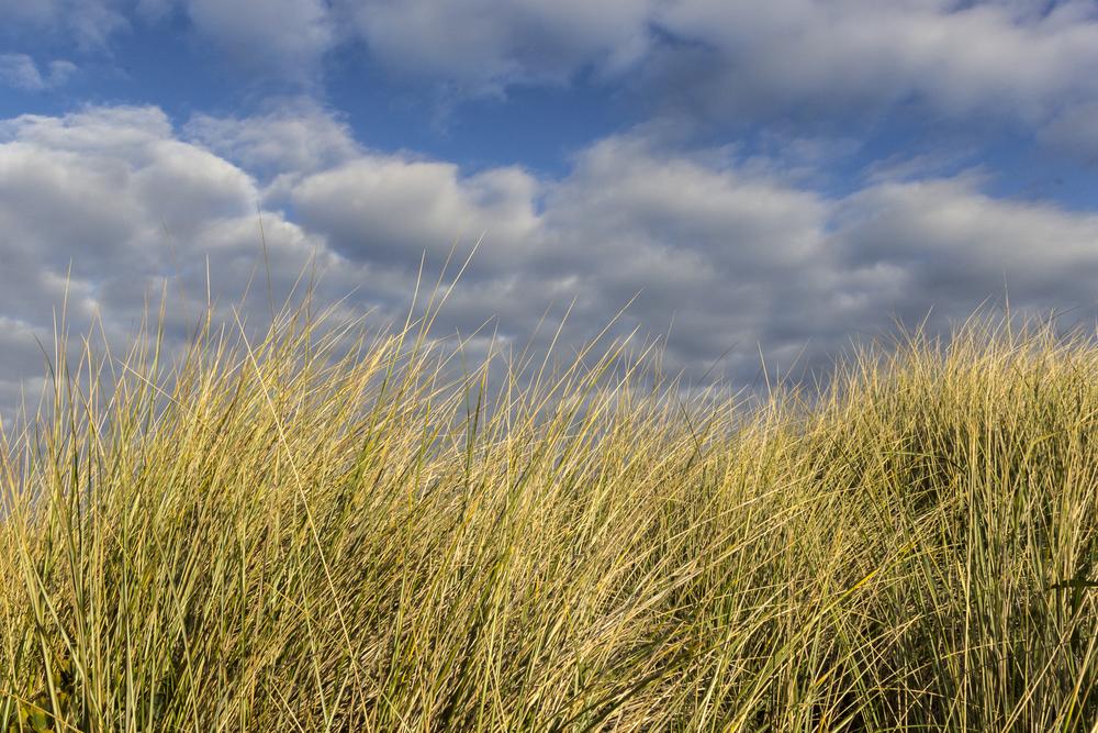 Shore Grass