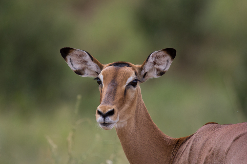 42 Tarangire Female Impala Closeup .jpg