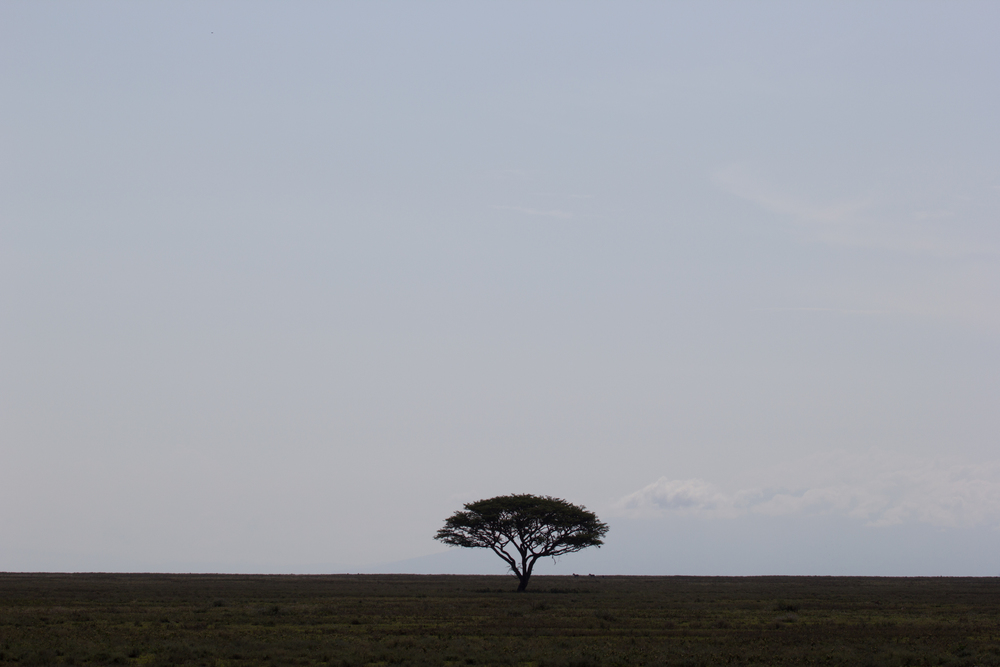 Acacia on Serengeti