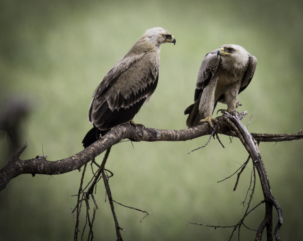 Tawny Eagle Pair
