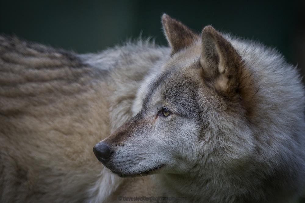 Klondike, male wolfdog