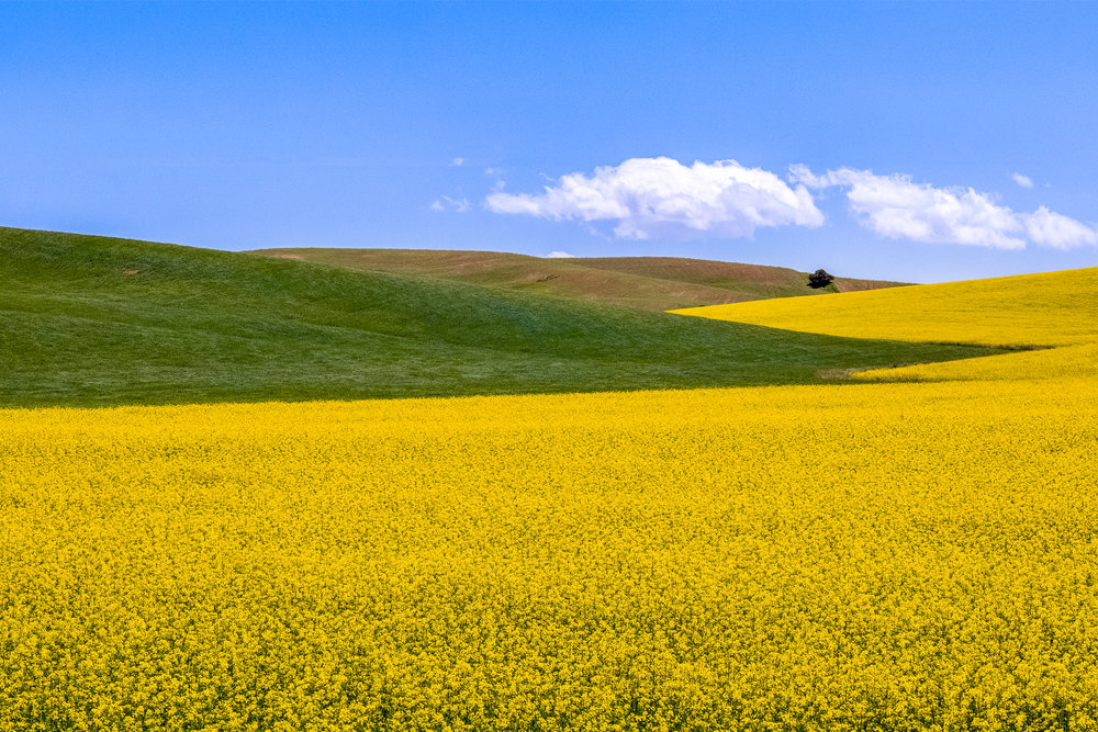 Canola field in the Palouse Canola Full Sky L46A0325-325 New Sky 2-2-3.jpg