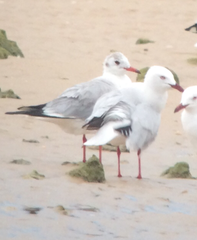 Black-headed Gull (back) with Silver Gull on the shore at Nhulunbuy (NT). Image with kind permission of Karen Rose.