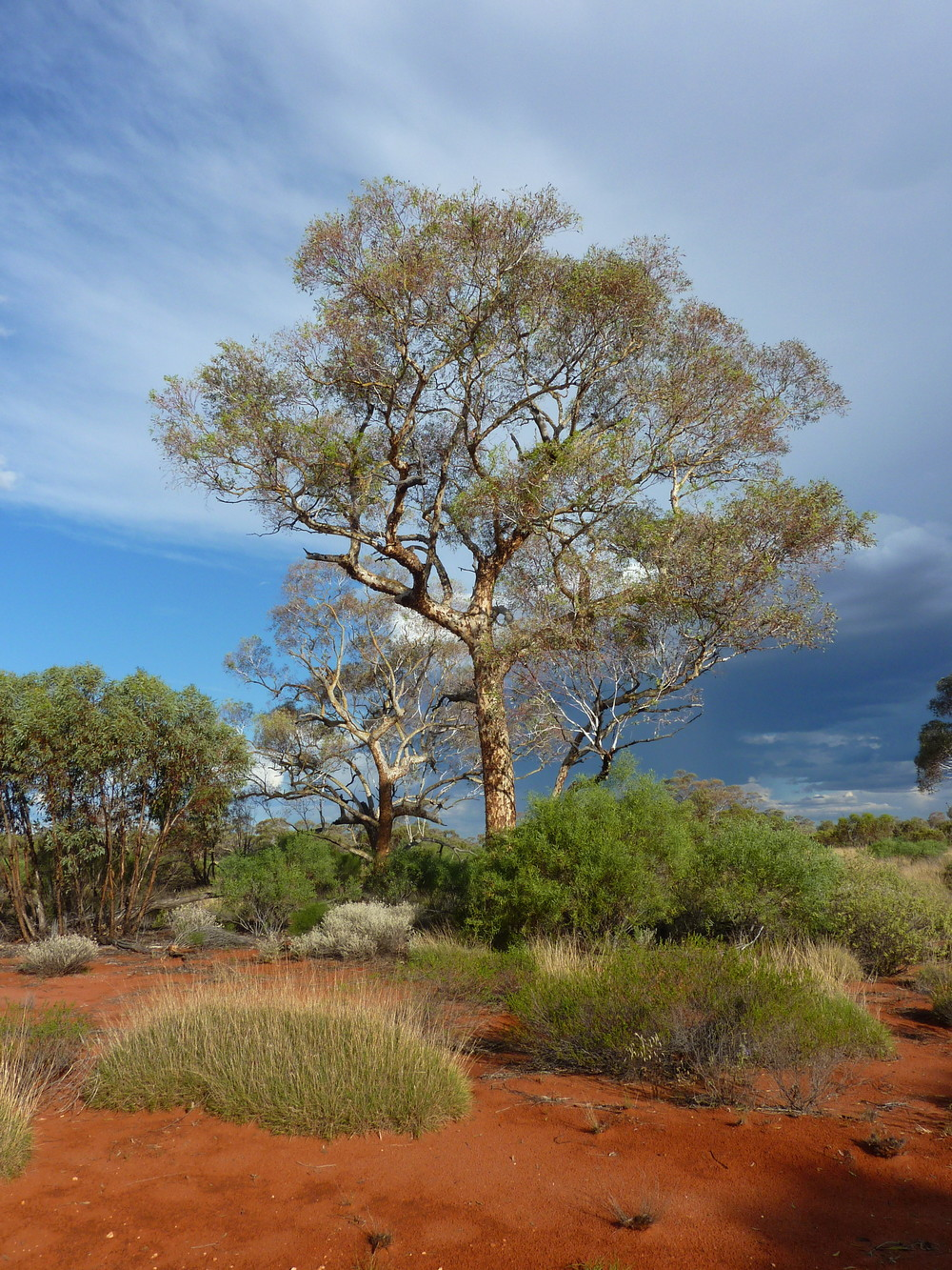Marble Gum  Eucalyptus gongylocarpa , along the Connie Sue Highway, WA: a known favourite for Princess Parrot nesting.
