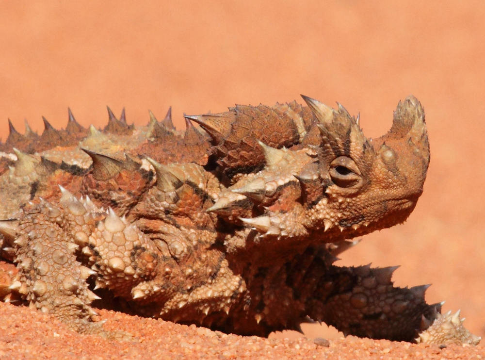 Thorny Devil  Moloch horridus,  a face only a naturalist could love?